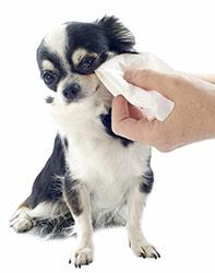 Limpiando Ojos y Orejas de Tu Perro