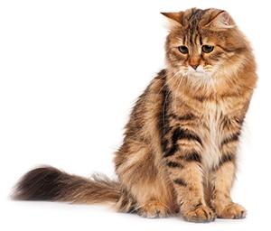 ¿Cuáles Son Los Signos De Problemas Articulares En Los Gatos?