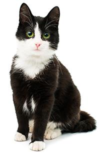 ¿Cuáles Son las Funciones Del Hígado De Un Gato?