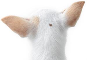 Prevención De Garrapatas En Perros