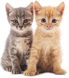 Medidas Preventivas Para La Salud Cerebral De Un Gato