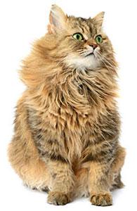 ¿Qué Es El Sistema Inmunitario De Tu Gato?