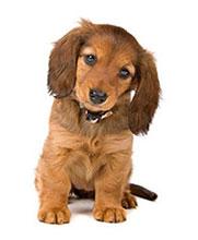 ¿Cómo Puedo Potenciar El Sistema Inmunitario De Mi Perro?