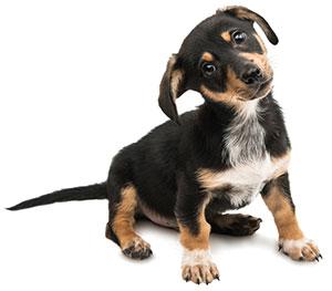 ¿Qué Es El Sistema Inmunitario Del Perro?