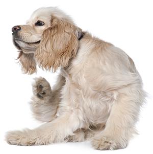 ¿Cómo Saber Si Mi Perro Tiene Pulgas?