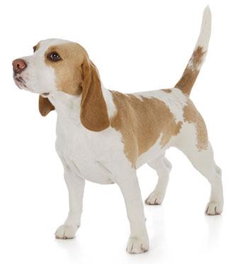 Síntomas De Problemas Digestivos En Perros