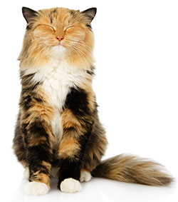 Artritis En Gatos: Conclusión