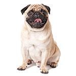 Carlino o Perro Pug