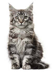 Signos De Artritis En Gatos