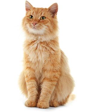 Síntomas De Problemas Digestivos En Gatos