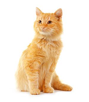¿Por Qué Utilizar Un Limpiador De Oídos Para Mascotas?