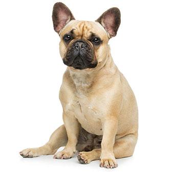 ¿Qué Son Los Gusanos En Los Perros?