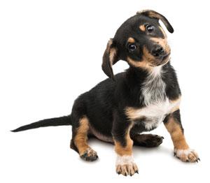 Signos De Envenenamiento Por Chocolate En Perros